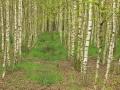 Las brzozowy sztuczny poziom 2