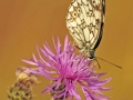 Motyl 1,2
