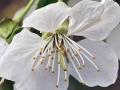 Kwitnąca wisnia 2