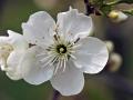 Kwitnąca wisnia