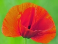 Mak kwiat